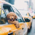 Taxi dog screenshot barkfeed