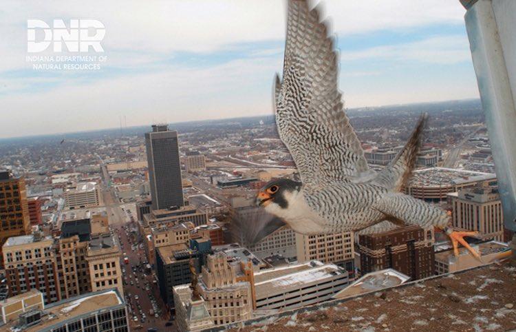 Indy Peregrine Falcon