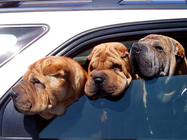 dogs in car CC emdot