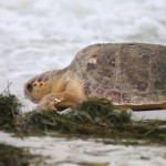 loggerhead turtle FB video Karen Riley-Love