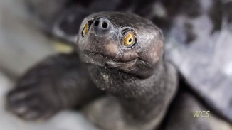 southern river terrapin turtle screenshot Wildlife Conservation Society