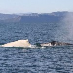 white-humpback-whale-New-Zealand-Dept-of-Conservation-750px