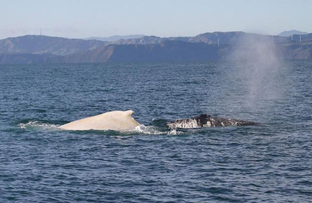 white humpback whale New Zealand Dept of Conservation