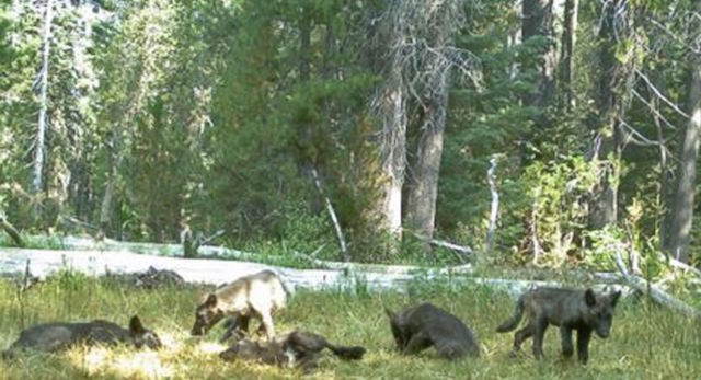 Gray wolves released California Department of Fish and Wildlife |
