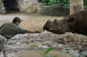 Harapan Sumatran Rhino released Cincinatti Zoo