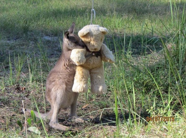 wild baby kangaroo still comes home to hug his teddy bear after release. Black Bedroom Furniture Sets. Home Design Ideas
