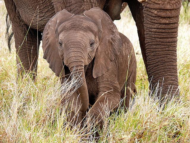 baby elephant CC Mara 1