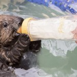 baby otter bottle-released-Shedd Aquarium:Brenna Hernandez