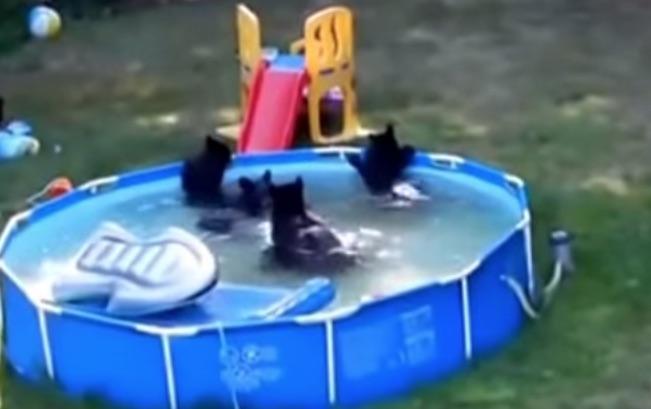 bears in backyard pool youtube