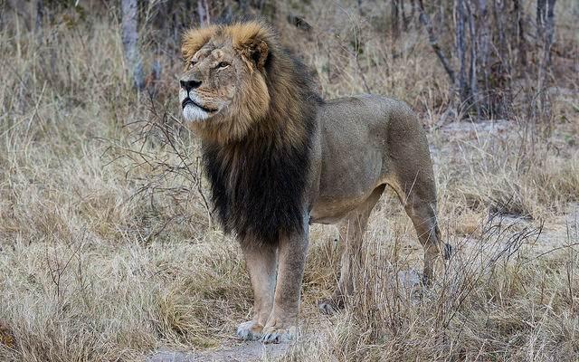 cecil the lion zimbabwe CC vince o'sullivan