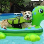 dog-in-pool-with-toy-AllPaws-FB-permission