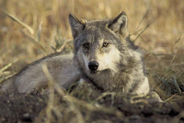 gray_wolf_publicdomain_U.S. Fish and Wildlife Service