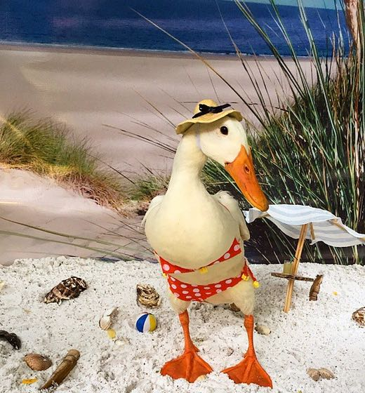 This Dutch Duck Loves To Get Dressed Up