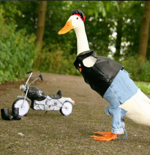 This Dutch Duck Loves To Get Dressed Up Photos