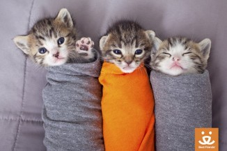 kittens in blankets best friends animal society