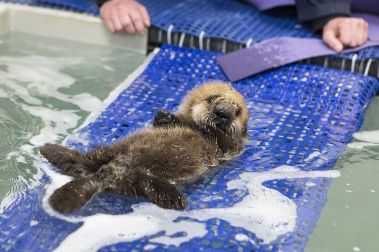 luna otter on a raft copyright Shedd Aquarium Brenna Hernandez