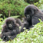 mountain gorillas 2 CC Sara&Joachim