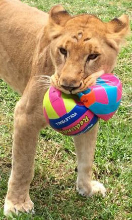 19_ADI_rescued_lioness_Kala_bu