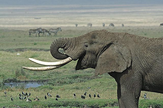 640px-Tanzanian_Elephant CC Schuyler Shepherd