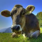 Cow Rescue cow closeup CC Martin Abegglen