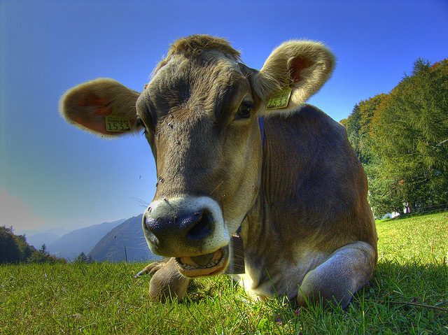 cow in grass CC Martin Abegglen