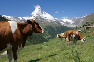 cows in mountains CC Zermatt
