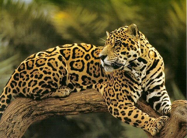 Jaguar CC Kali the destroyer