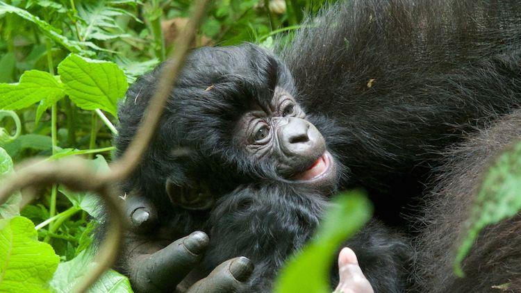 baby gorilla Copyright Keiko Mori