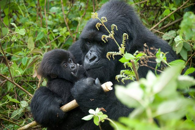 baby gorilla and mom copyright Keiko Mori
