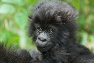 baby gorilla fluffy hair copyright Keiko Mori