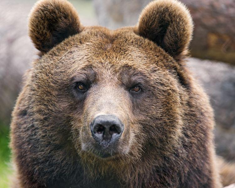 brown bear cc Tambako The Jaguar