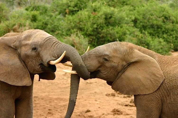 elephants-mating-ritual-2-CC-charlesjsharp