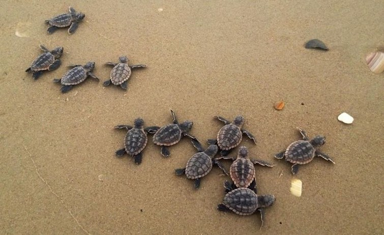 loggerhead-baby-turtles-NC-CC-Dawn Childs:USGeolSurvey
