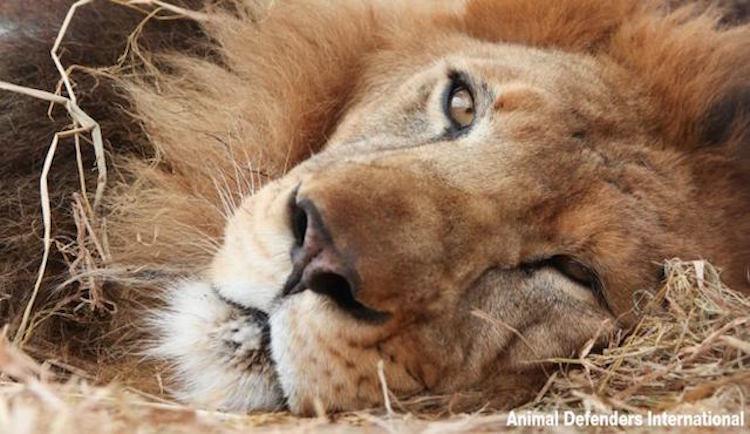 rescued_lion2_Rey_rescue ADI
