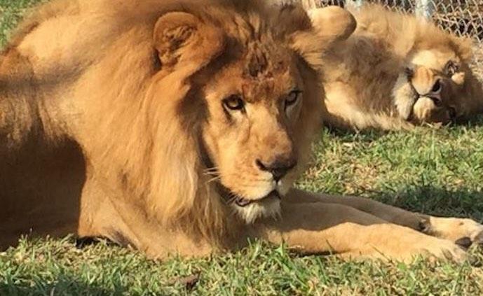 rescued_lions2_ADI_