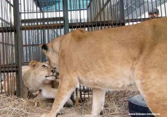 reunite_Kiara_with_cubs ADI
