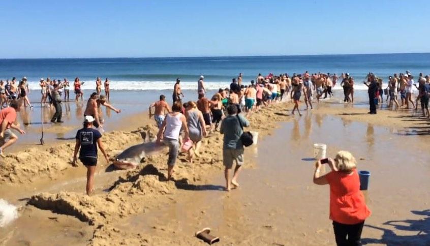 shark-rescue-Cape Cod-RobynSchnaible-vimeo