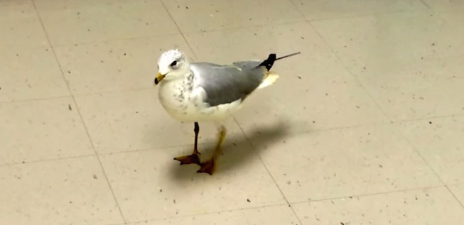 tony tapdancing seagull youtube screenshot