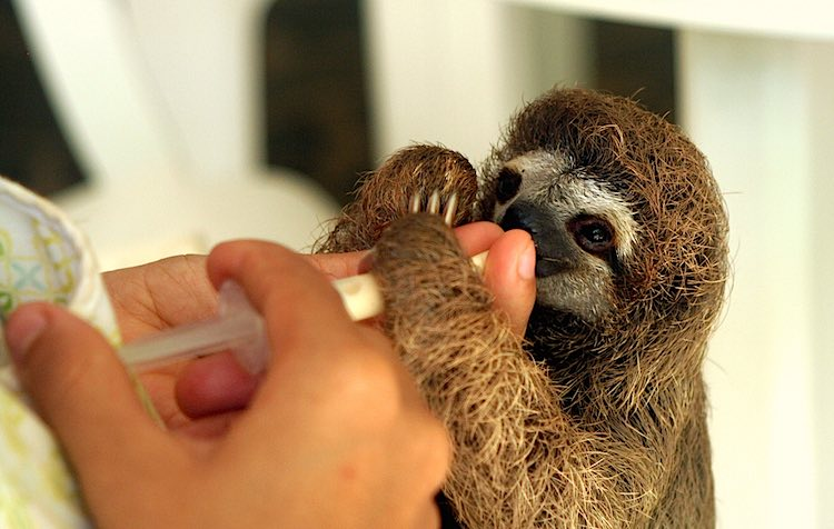 Image of: Tropical Rainforest Baby Sloth Feeding Time Cc Dave Gingrich Good News Network Sloth Lady Who Saved 600 Rainforest Animals Named Cnn Hero Of The