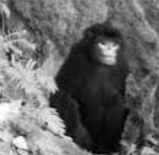 Snubby monkey-Faunaandflorainternational