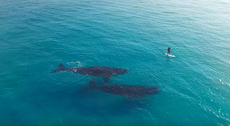 Southern right whales paddle board drone Screenshot Jaimen Hudson