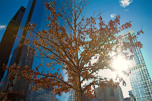 new york tree CC tubafil