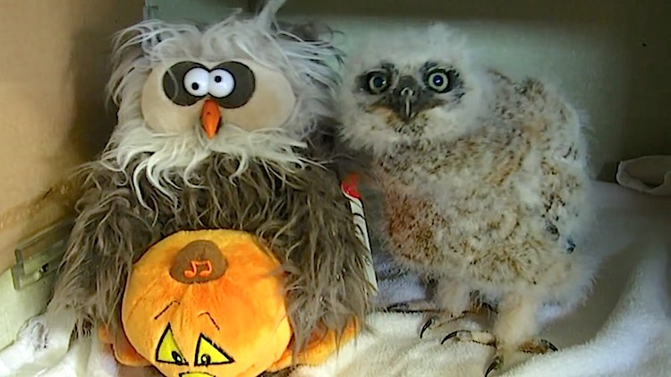 owl-and-puppet-monster mash RaptorRehabber-youtube