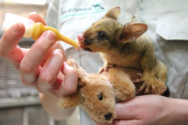 possum bottle feeding stuffed kangaroo Taronga zoo Facebook