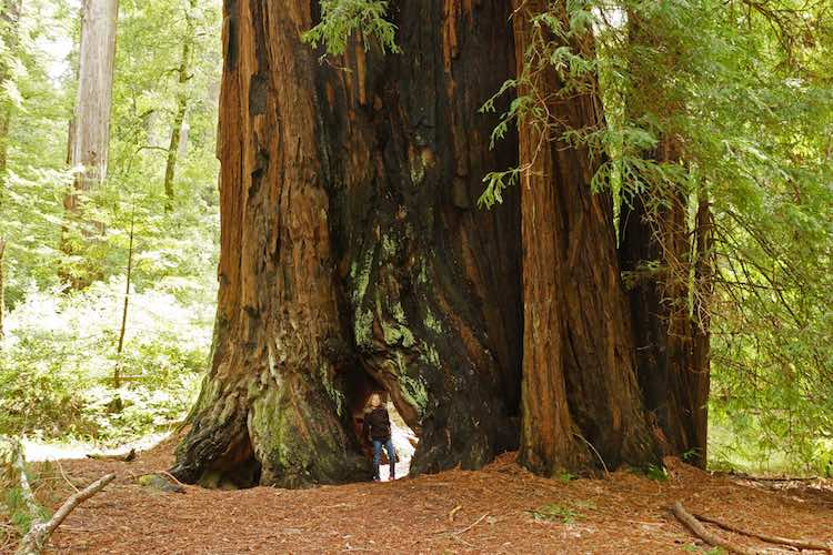 California Redwood CC Allie_Caulfield