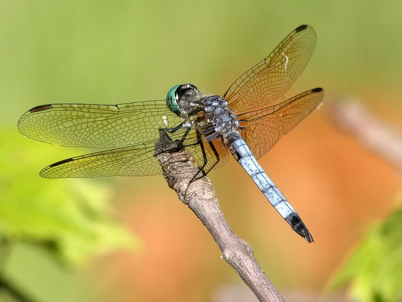 dragonfly-Blue-Dasher-submitted-Janet Nelson