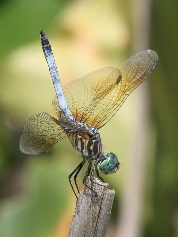 dragonfly-verticle-submitted-Janet Nelson
