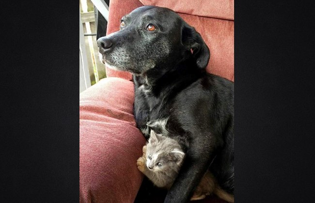 guard dog with kitten-Tiffany Hull