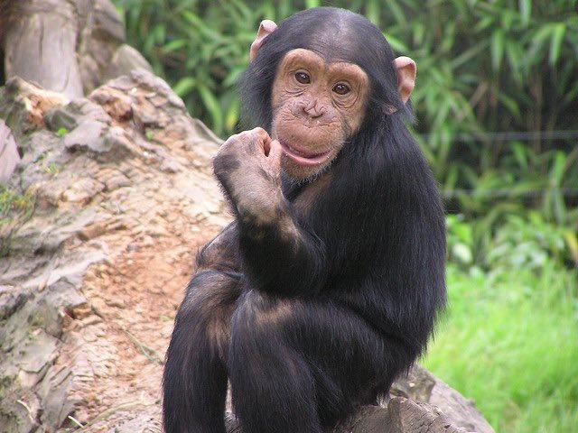 happy chimp CC frank wouters