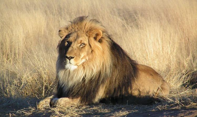 Lion CC Kevin Pluck